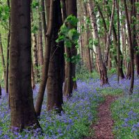 Bluebell Walk by danUK86