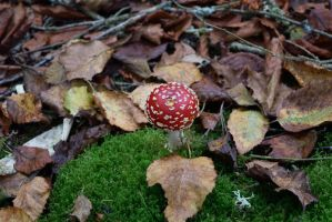 DSC 0044 Fly Agaric by wintersmagicstock