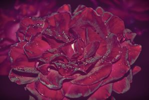 Rose by schwarzdrossel