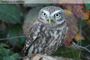 Little Owl by FantasticFennec