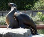 Denver Zoo 168 Sealion by Falln-Stock