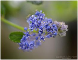 Tiny Lilac Flowers by Hitomii
