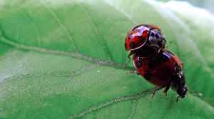 Ladybugs in love by BlackEyesSnowAngel
