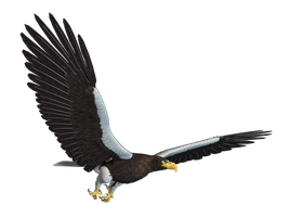 Sea Eagle 02 PNG Stock by Roys-Art