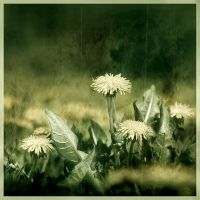 Dandies in the Grass by pfister
