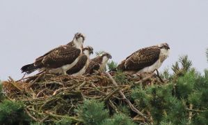 Juvenile Ospreys by Somnp