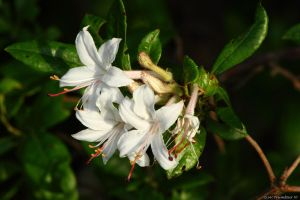 Wild swamp azalea by natureguy