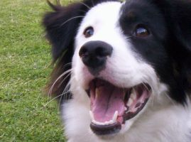 Ambar_My border collie by Lazlo-Moholy