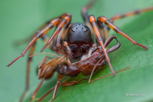 Ground spider with Trap jaw ant by melvynyeo