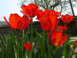 red tulips 2 by justoriginal