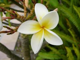Frangipani 1 by Confussed-Stock
