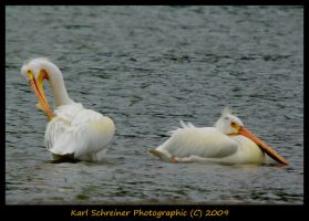 American White Pelican by KSPhotographic