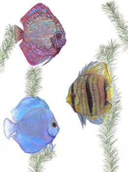 Discus fish by zoops