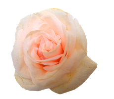 Soft Pinky Rose PNG.. by Alz-Stock-and-Art