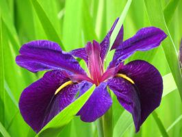 Dark Purple Iris Flower by Kitteh-Pawz
