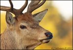 Autumn Stag by andy-j-s