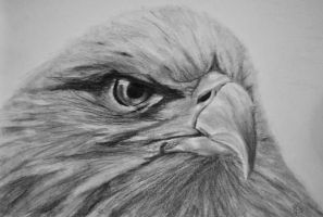 Bald Eagle by panicKELS