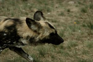 African Wild Dog 3 by Canisography