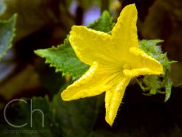 Cucumber Flower by Champineography