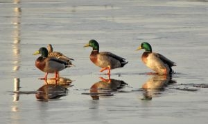 *I have my ducks in a row by Nipntuck3