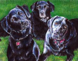 Black Labs - colored pencil by whiterabbitart