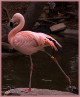 Flamingo by Elppin