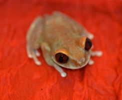 Bambi the Ruby-eyed tree frog by AsphyxiaticNeko