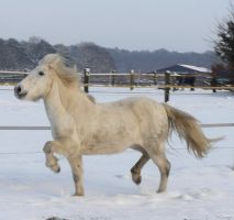 white iceland pony winter 2010 by Nexu4