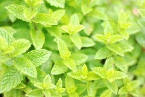 Mint leaves stock by Quinnphotostock