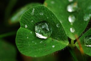 Clover Dew Drops. by BeautifulFlower66