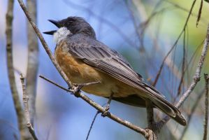 Rufous Whistler (m) by strictfunctor