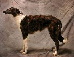 Borzoi by grodpro