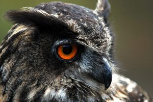 Eagle Owl I by Schoelli