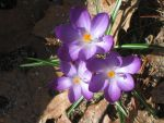 snow crocuses by crazygardener