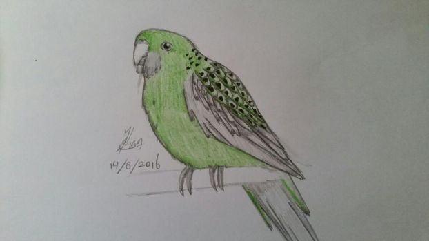 Trad Parrot drawing. by MasterPred