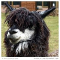 Theres A Llama by In-the-picture