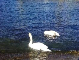 Swans by Alcyone07