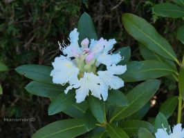 Rhododendron1 by Hansmar