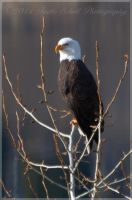 Eagle 1 crop by melly4260