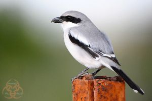 Southern Grey Shrike by ahmedalali