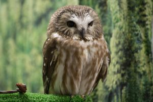 Tootsie, Northern Saw-whet Owl by Babsula