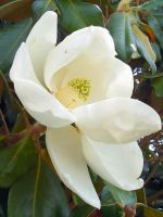 Magnolia by MikeHungerford