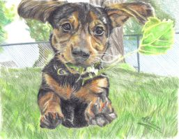Jumping Jack Russell Terrier by Anita-Sanderson
