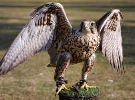 Falcon_I by deoroller