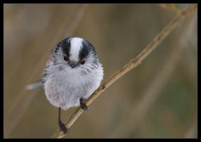 long tailed tit by MartinAmm