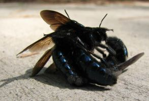 Fighting Carpenter Bees by AndromedaRoach