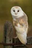 Barn Owl by mansaards