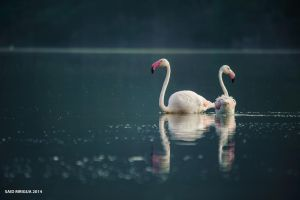 Flamant rose by saidmrigua