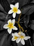 Black and White Plumeria by teenax