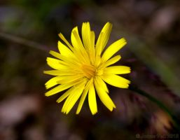 Yellow Flower by friedapi